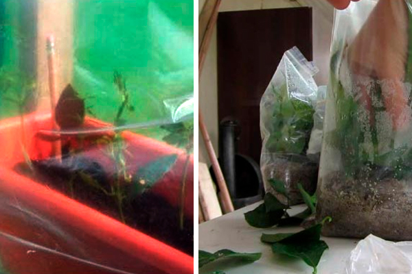 Укоренение черенков роз: самый простой способ. Гарантия 100%