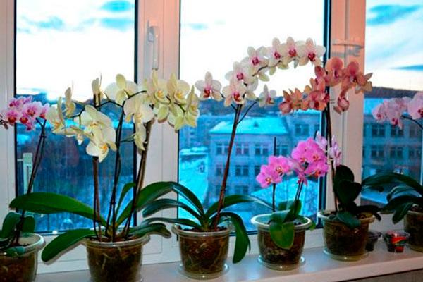 Как ухаживать за орхидеей фаленопсис зимой: простой уход и полив